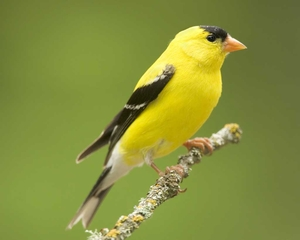 American_Goldfinch_b13-40-018_l_0